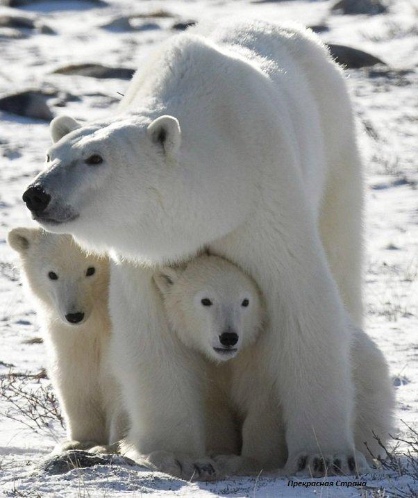 Белый медведь – описание, фото и видео