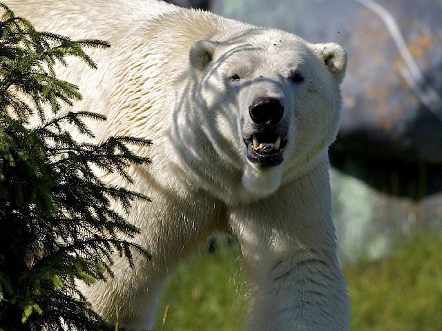 Белый медведь фото.