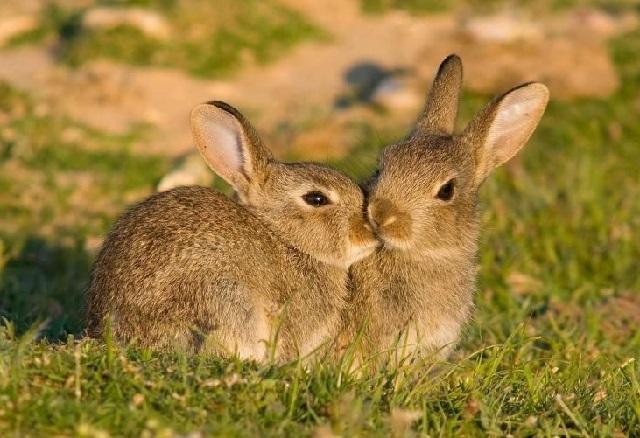 Дикие кролики фото.