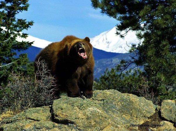 Дикий медведь – описание, фото и видео