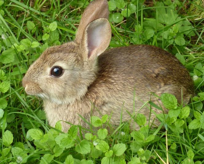 Дикие кролики – описание животных, фото и видео