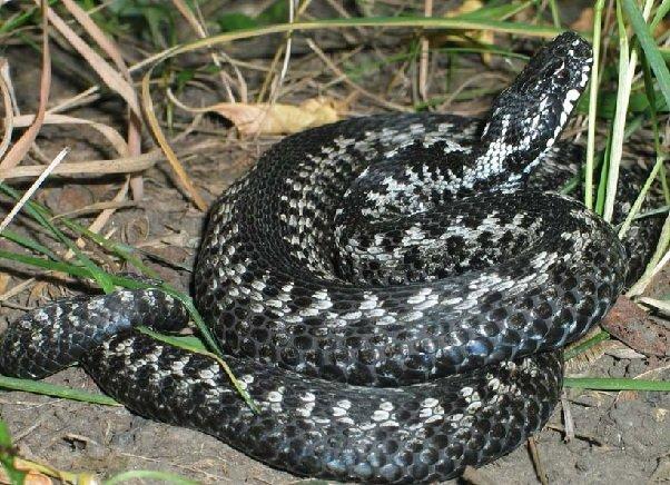 Гадюка – описание змеи, фото и видео
