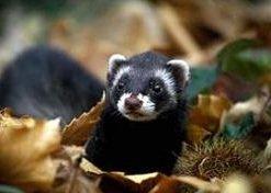 Черный хорек лесной – описание зверька, фото и видео