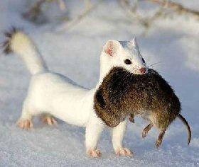 А зимой ласка белая.