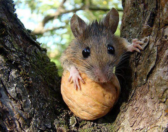 Лесная мышка с орехом.