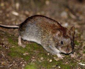 Лесная мышь – описание зверька, фото и видео