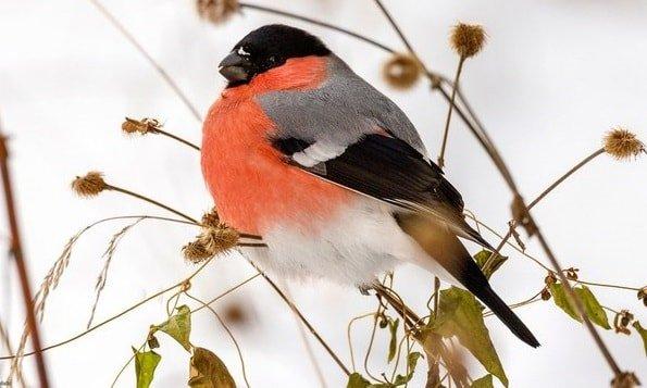 Снегирь красногрудый