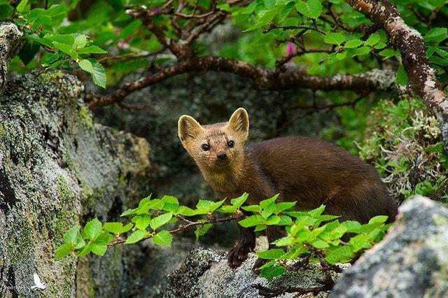 Соболь – описание зверька с фото и видео