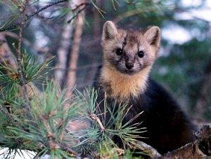 Соболь – описание зверька, фото и видео