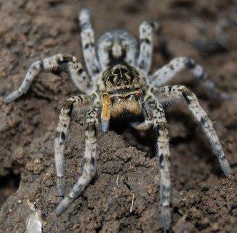 Тарантул южнорусский – описание паука, фото и видео