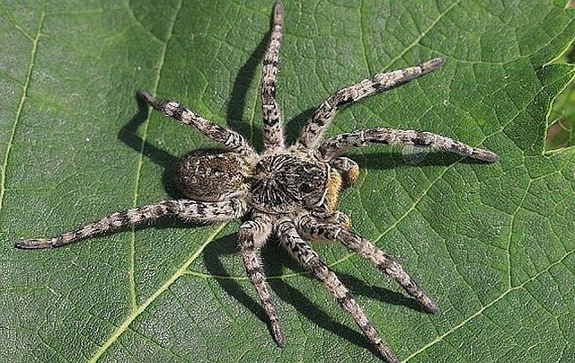 Тарантул южнорусский – описание паука, фото и видео.