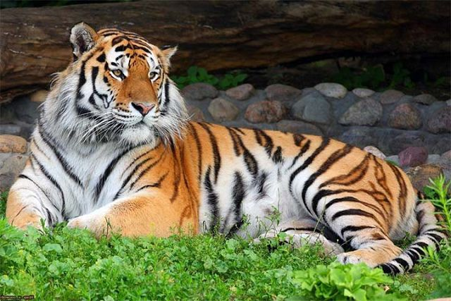 Тигр – описание кошки, фото и видео.