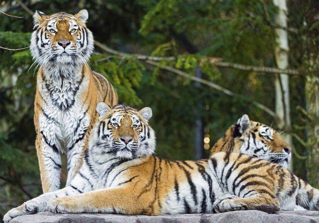 Амурские тигры.