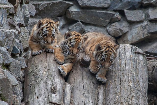 Амурские тигрята.