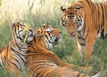 Тигр – описание кошки, фото и видео