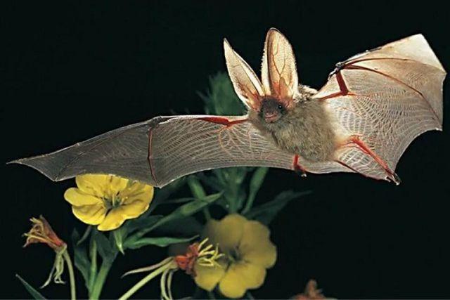 Ушан летучая мышь – описание, фото и видео.
