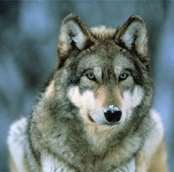 Волк – описание хищника, фото и видео