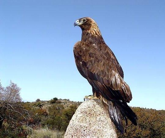 Беркут – описание птицы, фото и видео