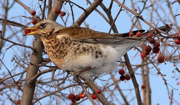 Дрозд рябинник – описание птицы, фото и видео