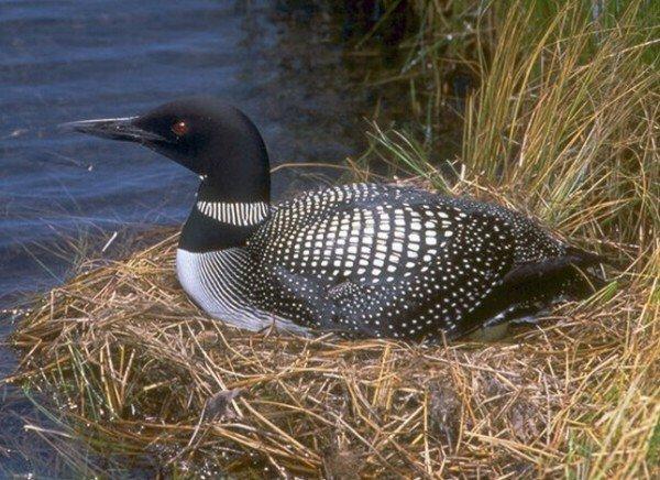 Гагары – описание птиц, фото и видео