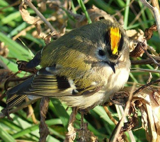 Королек желтоголовый – описание птицы, фото и видео