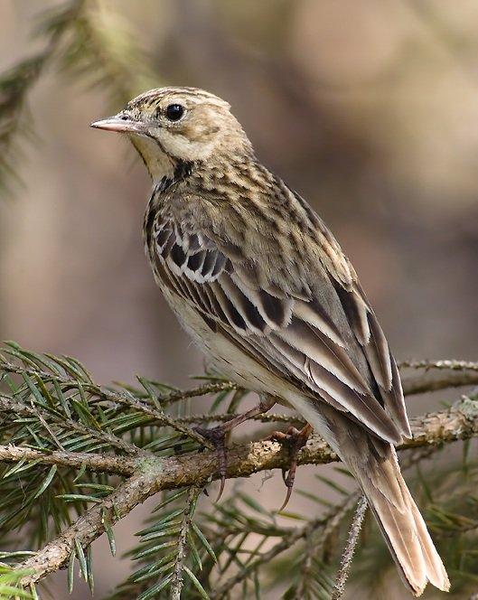 Лесной конек – описание птицы, фото и видео