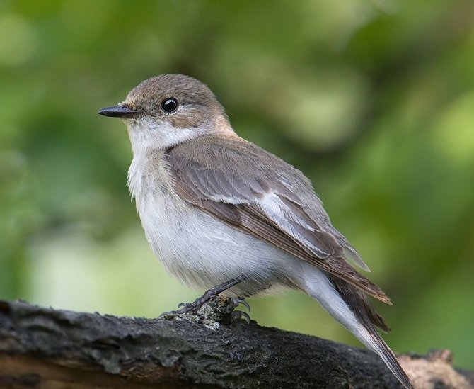 Мухоловка-пеструшка – описание птицы, фото и видео
