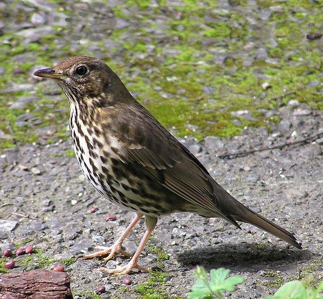 Певчий дрозд – описание птицы, фото и видео