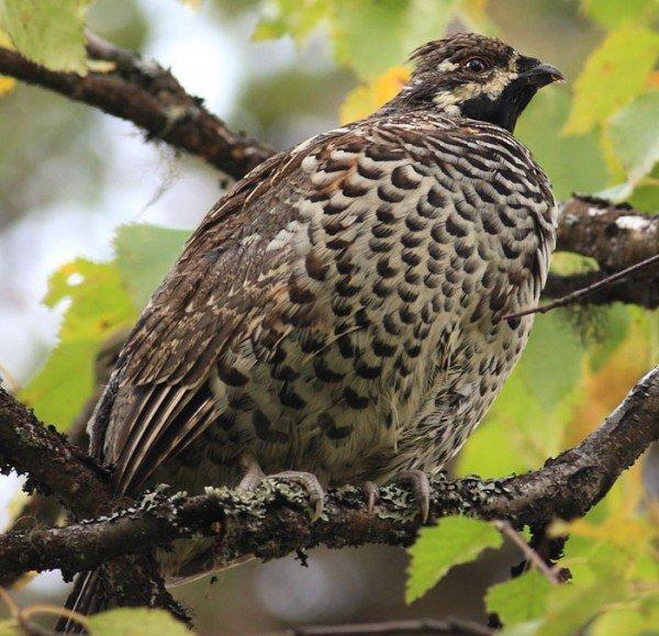 Рябчик – описание птицы, фото и видео
