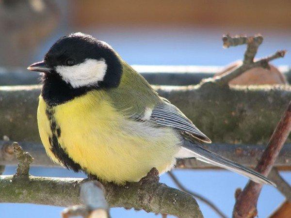 Синица большая – описание птицы, фото и видео
