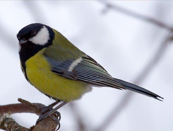Синица московка – описание птицы, фото и видео