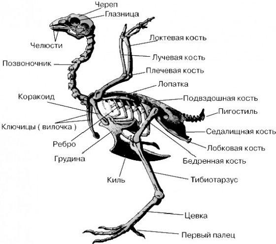 Скелет птиц описание
