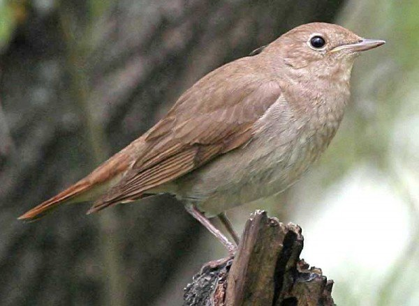 Соловей – описание птицы, фото и видео