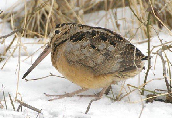 Вальдшнеп – описание птицы, фото и видео