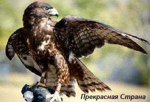 Ястреб тетеревятник – описание птицы, фото и видео