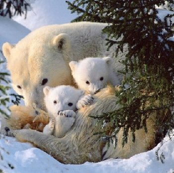 Белые медвежата – описание, фото и видео