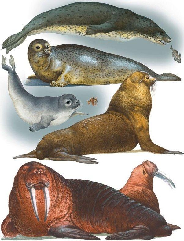 Морские ластоногие – описание животных, фото и видео