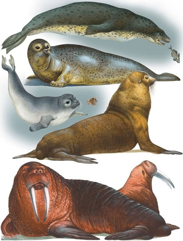 Морские ластоногие описание фото видео