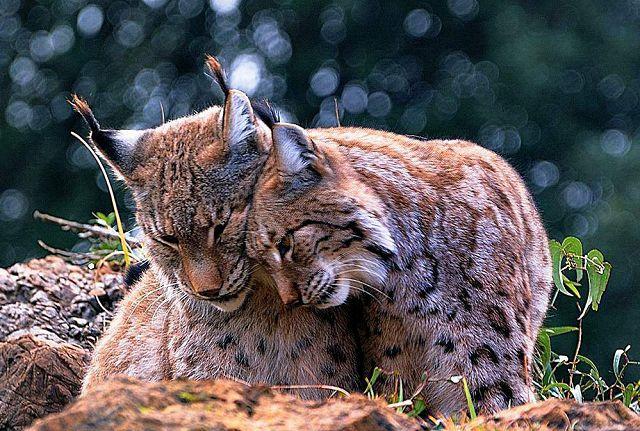 Рысь – описание кошки, фото и видео