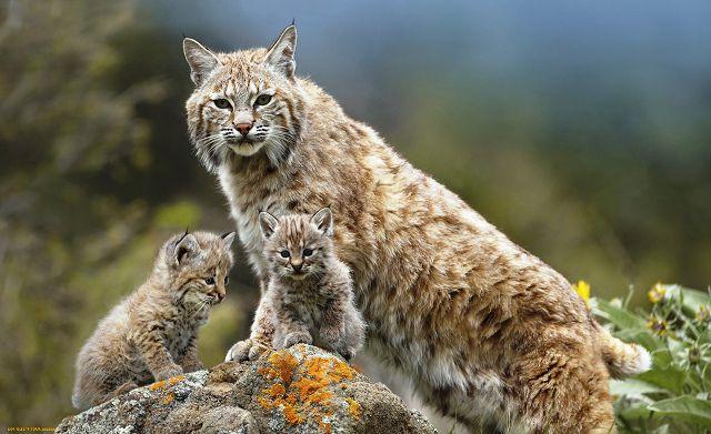 Рысь с котятами.