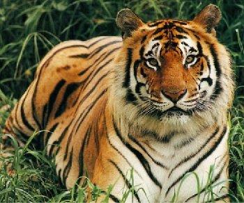 Какие виды тигров еще сохранились