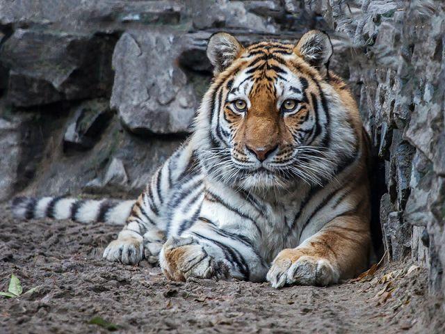 Какие виды тигров еще сохранились? Амурский тигр.