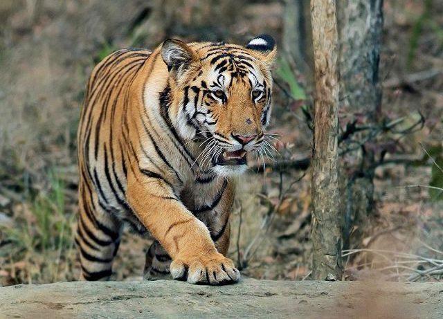 Бенгальский тигр фото.