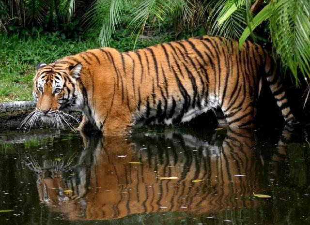 Малайский тигр.