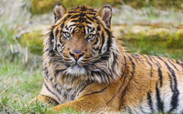 Какие виды тигров еще сохранились? Суматранский тигр.