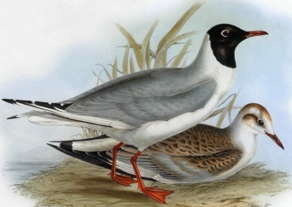 Чайка озерная – описание птицы, фото и видео