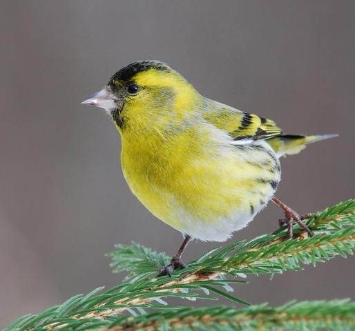 Чиж – описание птицы, фото и видео