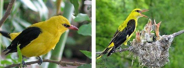 Иволга – описание птицы, фото и видео