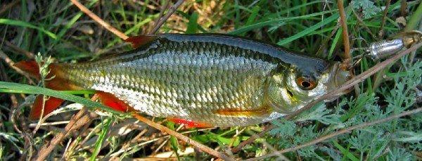 Красноперка – описание рыбы, фото и видео