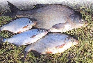 Лещ и подлещик – описание рыбы, фото и видео